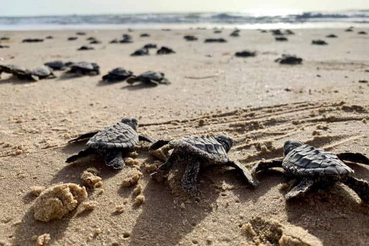 McAllen South Padre Island Foto Sea Turtle Inc 2