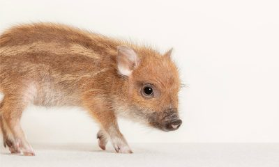 Mini Pig Foto. Mipig Caffe