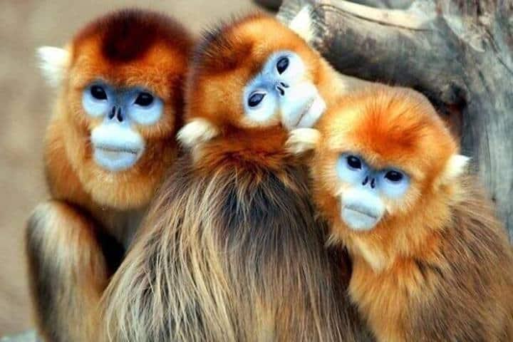 Mono dorado de nariz chata. Foto