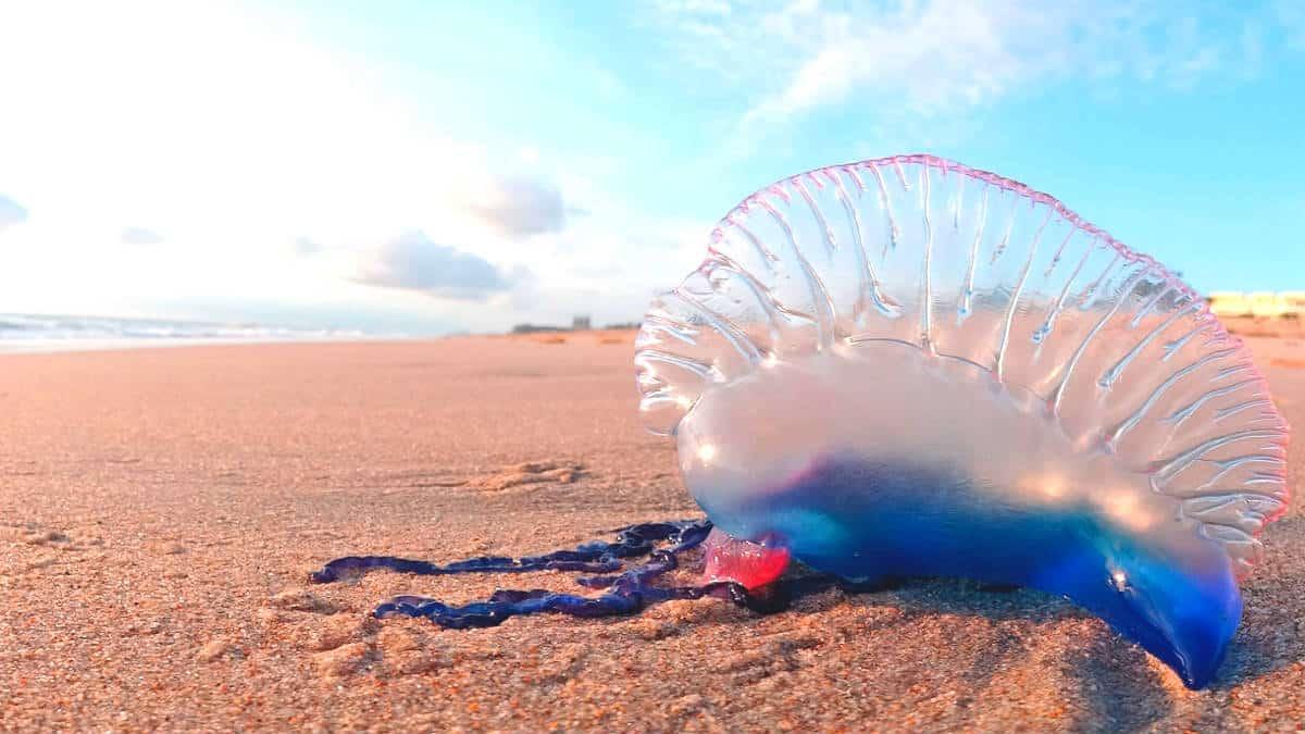 Remedios caseros contra picaduras de medusas. Imagen: Caribbean News digital blog