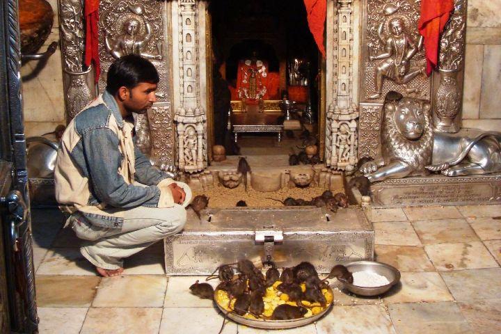 Vicmun Foto: El templo de las ratas Karni Mata en la India
