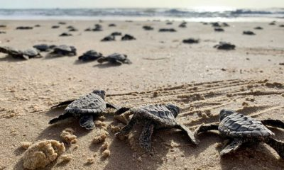McAllen South Padre Island Foto Sea Turtle Inc 2