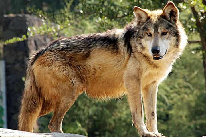 Lobo gris mexicano adulto. Foto AFmedios.