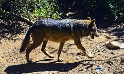 El nacimiento de tres lobos grises Foto. Pixibay