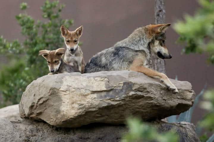 Lobos grises mexicanos. Foto Infobae.
