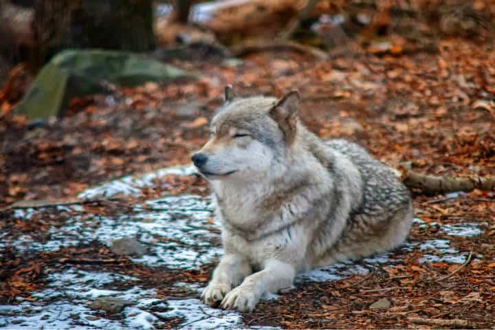 Lobo en peligro de extinción. Foto. Robert Thieman 3