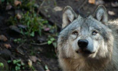 Lobo gris. Foto: Delphine Beausoleil