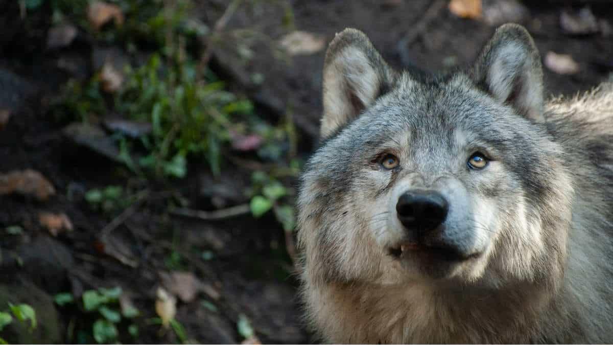 Lobo gris. Foto. Delphine Beausoleil 4