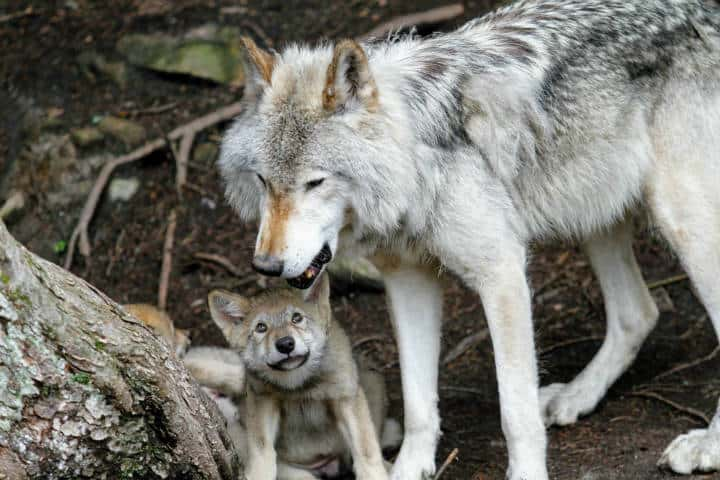 Lobo gris. Foto. M L 1