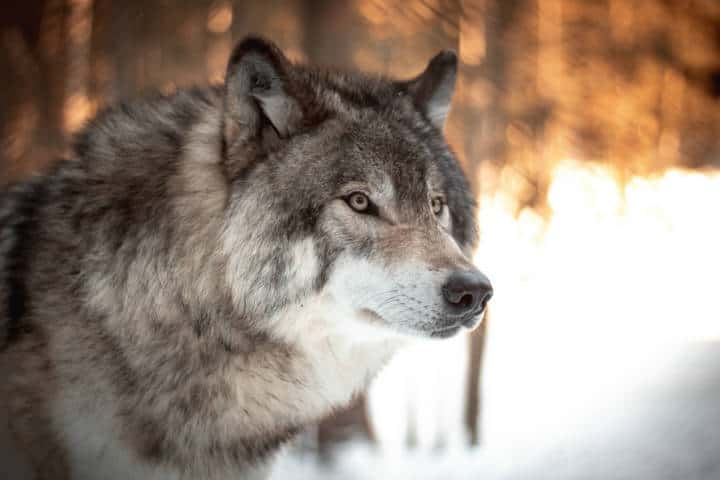Lobo gris. Foto. Milo Weiler 2