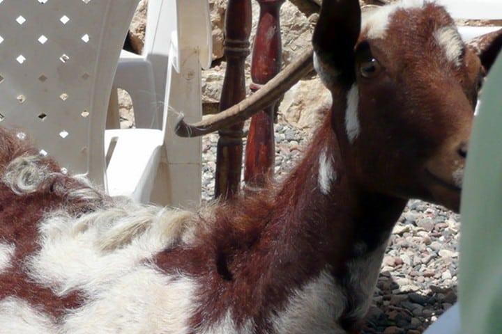 Socotra, Cabras. Foto Dianadrz..