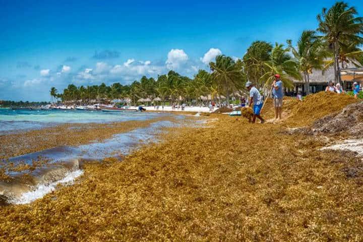El Sargazo Caribe Mexicano Foto Red de Monitoreo CUN