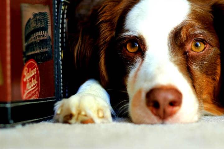 Tu mascota puede ser un crítico de hoteles Foto Hardian Muljadi