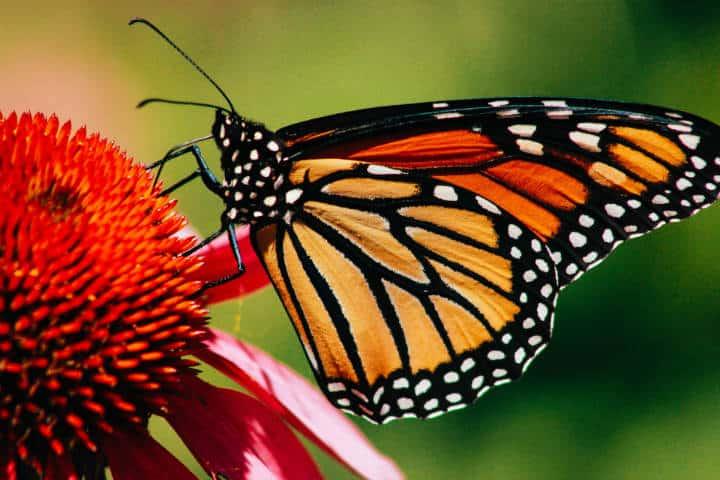 Mariposa monarca. Foto: Erin Minuskin