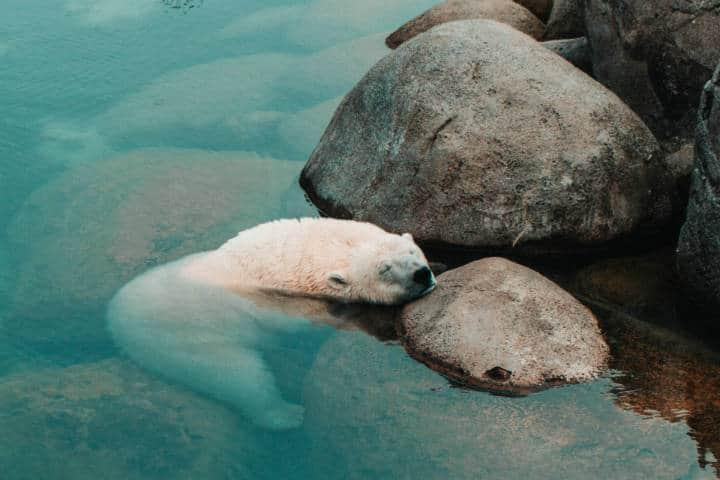 Oso Polar. Foto. Niklas Braun 2