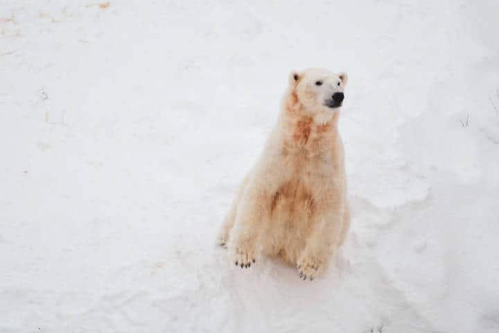 Oso Polar. Foto.Bao Menglong 1