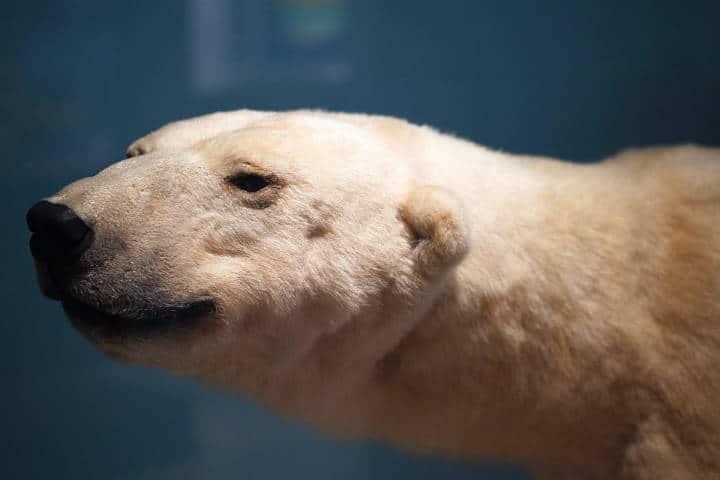 Osos polares en Churchil, Canadá. Foto: Adrei Stratu