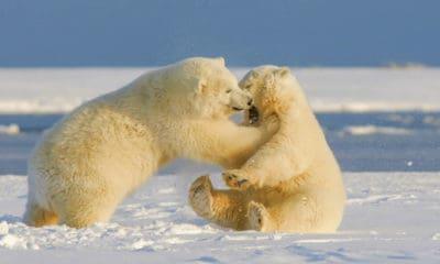 Osos polares en Churchil Canadá. Foto: Hans-Jurgen Mager