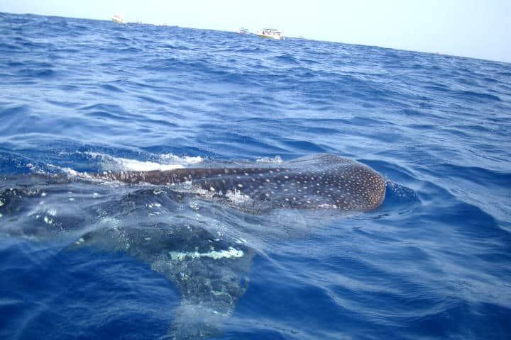 Tiburones ballena Foto Jose Antonio Tovar