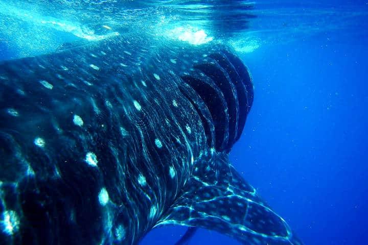 Tiburones ballena Foto Lara Danielle