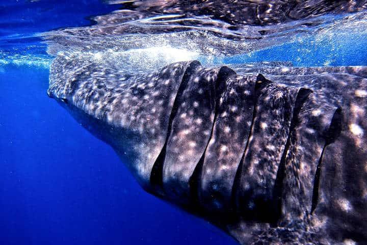 Tiburones ballena Foto Oblivious Dude
