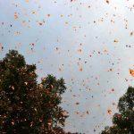 Mariposas monarca. Foto Pedro Berruecos Fotografía