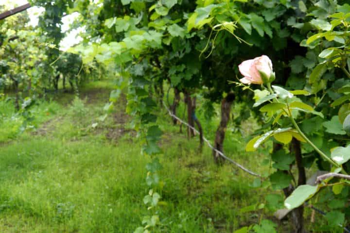 Vino de Sonora Foto El Souvenir 10