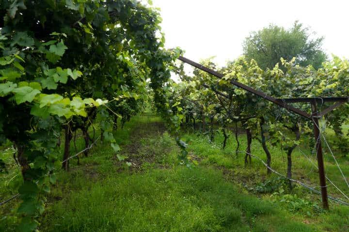 Vino de Sonora Foto El Souvenir 11