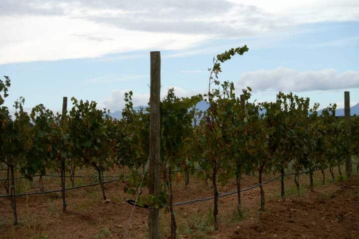 Vino de Sonora Foto El Souvenir 16