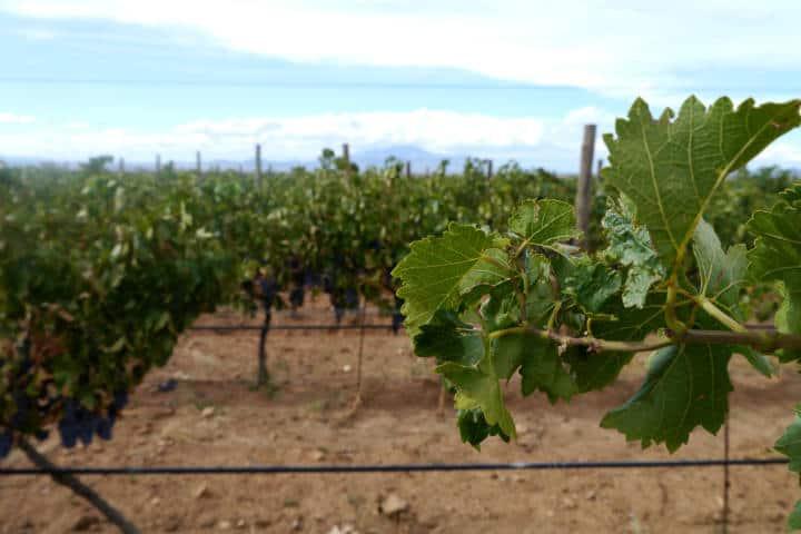 Vino de Sonora Foto El Souvenir 29