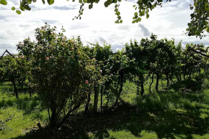 Vino de Sonora Foto El Souvenir 40