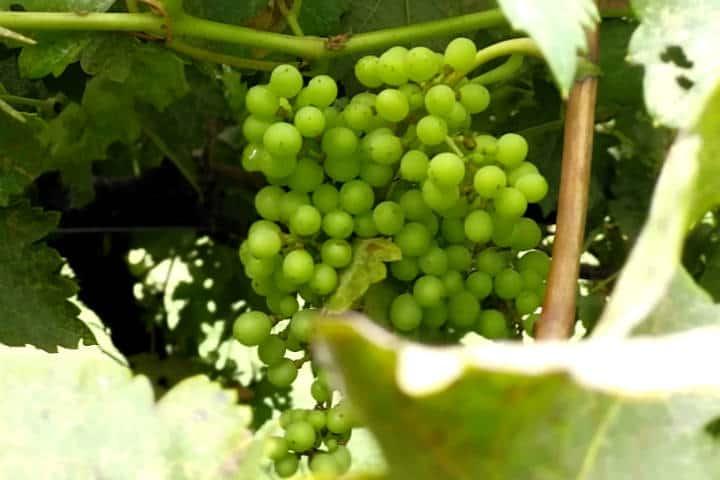 Vino de Sonora Foto El Souvenir 46