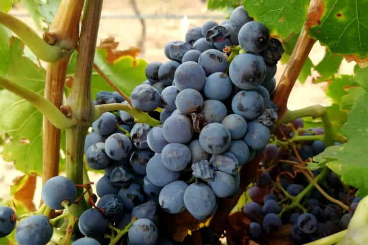 Vino de Sonora Foto El Souvenir 49