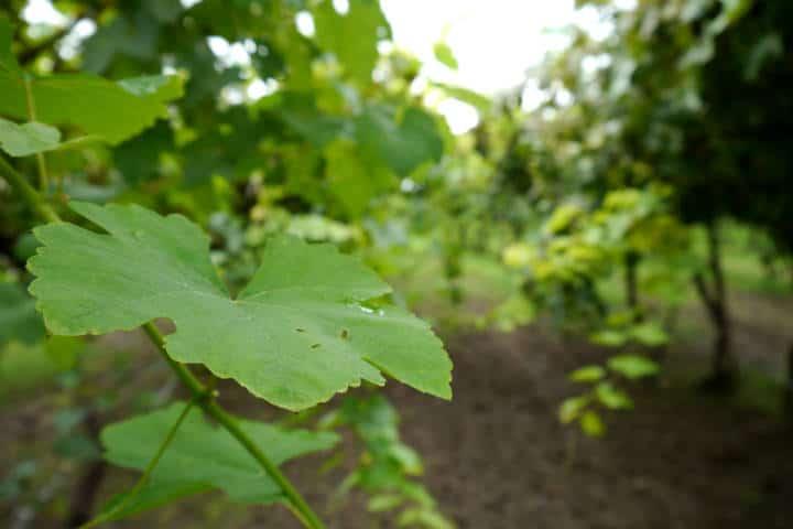 Vino de Sonora Foto El Souvenir 9
