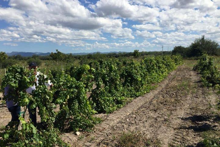 Vino en Sonora. Foto Vinos Giottonini 1.