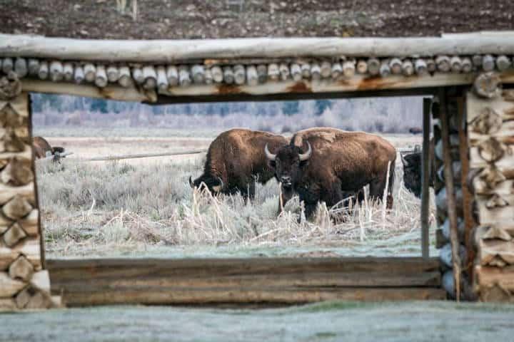 Bisontes Jackson Hole Foto JHMR