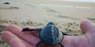 Liberación de tortugas. Foto diario presente