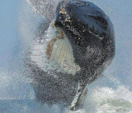 Avistamiento de ballenas en Ensenada. (Ballena saltando). Foto: Magia de Gigantes.