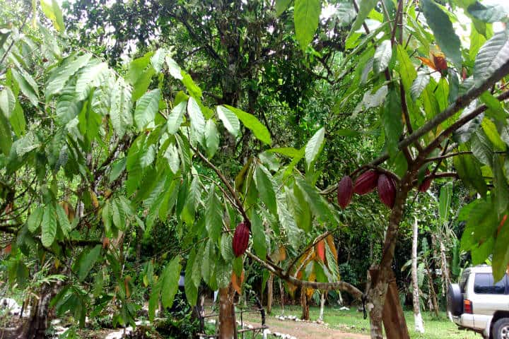 Cacao. Foto xiroro