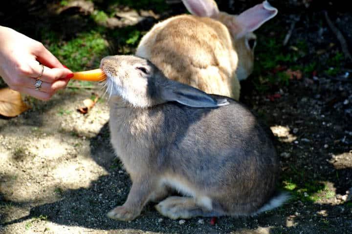 Okunoshima la isla de los conejos Foto Steffen Flor