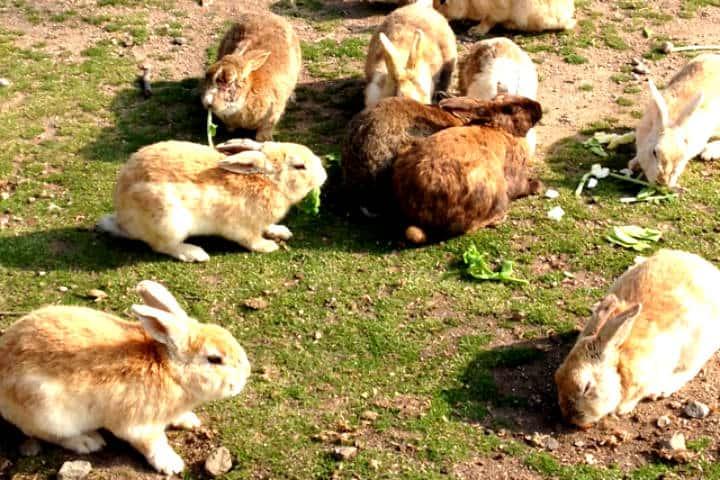 Okunoshima la isla de los conejos Foto dramaqueenz