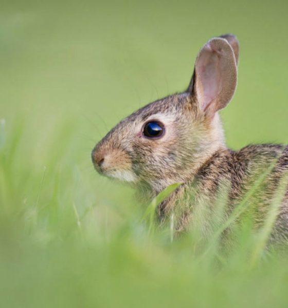 Okunoshima la isla de los conejos. Foto Pixabay