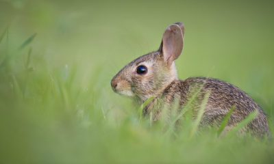 """Okunoshima la """"isla de los conejos"""" Foto: Pixabay"""