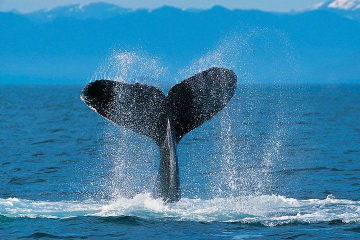 Qué hacer durante la temporada de ballenas. Foto Flickr