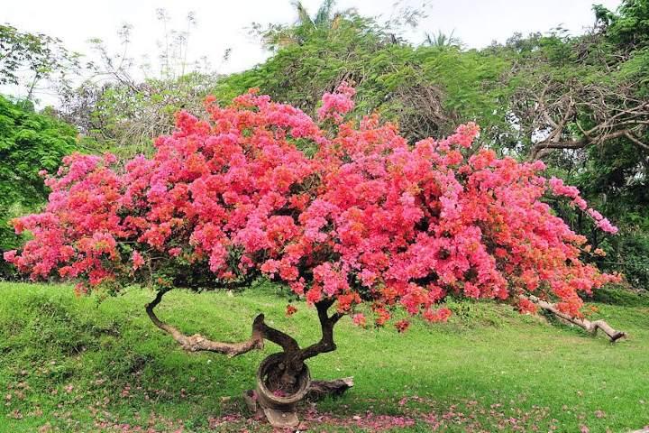 Bugambilias. Foto Vibraciones de Felicidad