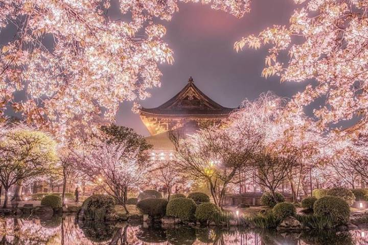 Cerezos en Japón. Foto Bioguia