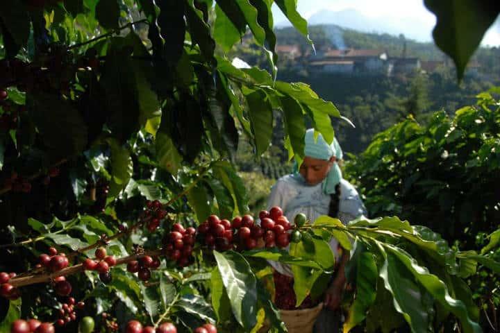 Finca cafetalera Argovia. foto Amo a Chiapas