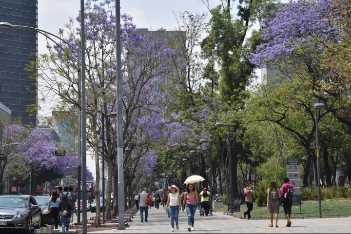 Jacarandas. Foto Johanna Sidilele