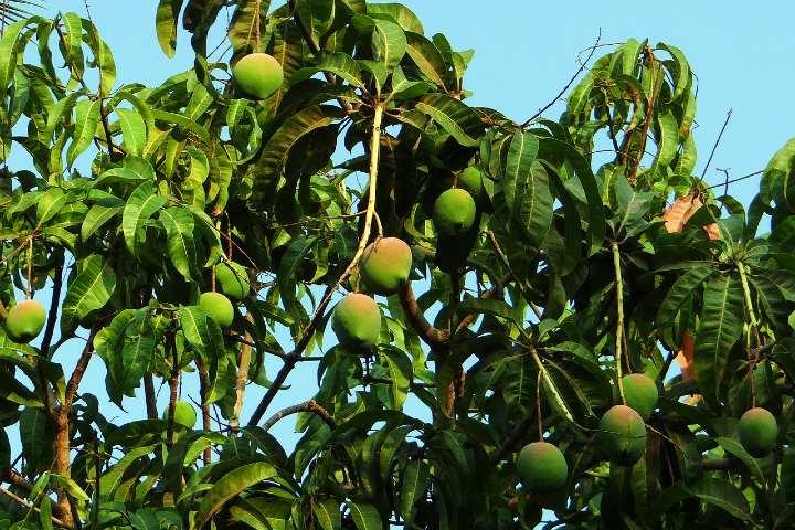 Mangos de Chiapas. Foto Bishnu Sarangi.