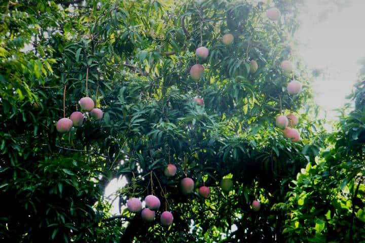 Mangos de Chiapas. Foto Pantepec Chiapas